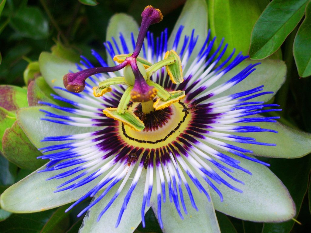 Passion-Flower-11