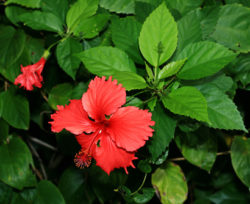 chinese-hibiscus-benefits2